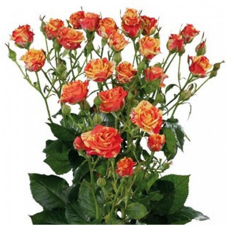 Роза Кустовая Красно-оранжевая