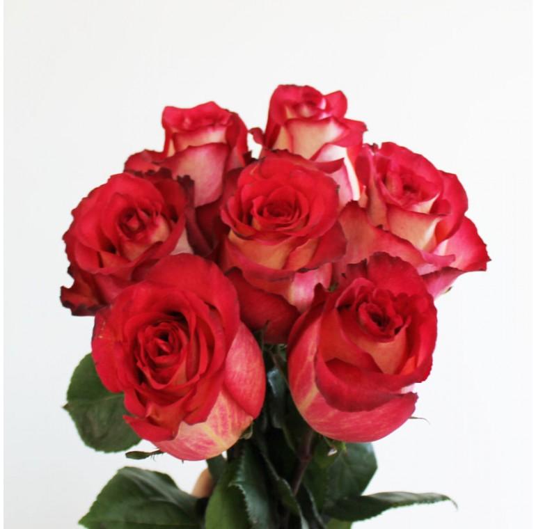 Роза Игуазу 60см