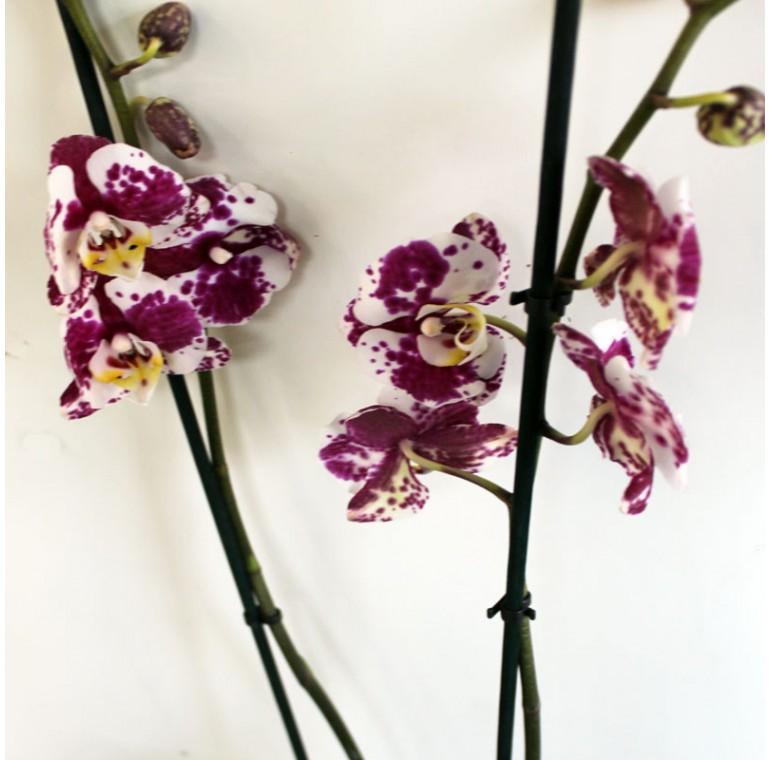 Орхидея Фаленопсис Сиренево-Белая