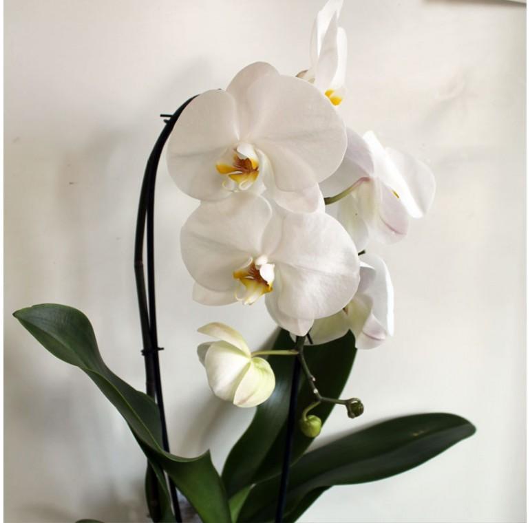 Орхидея Фаленопсис  Каскадная Белая