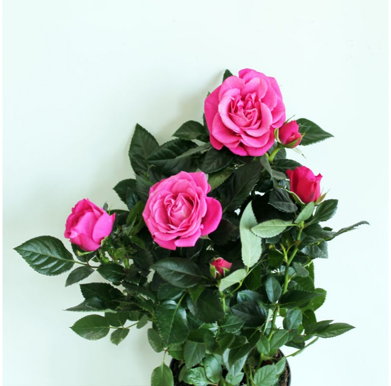 Роза Кордана Розовая