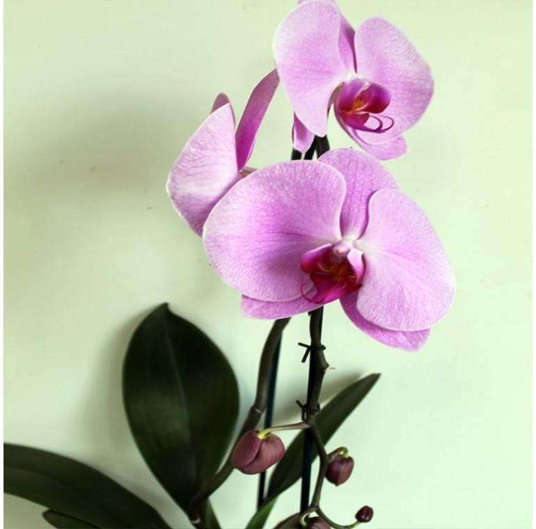 Орхидея Фаленопсис Каскадная Фиолетовая