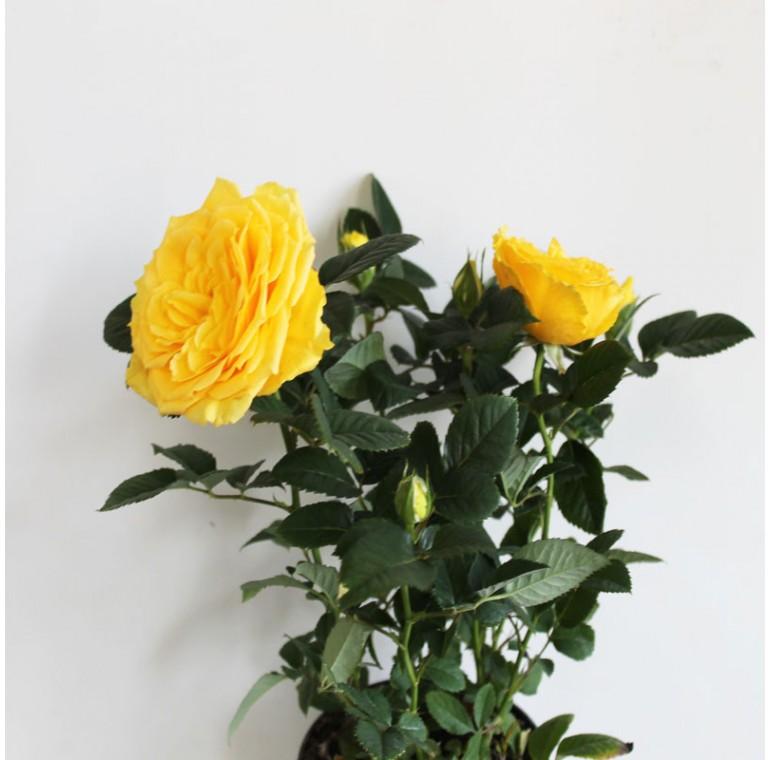 Роза Кордана Жёлтая