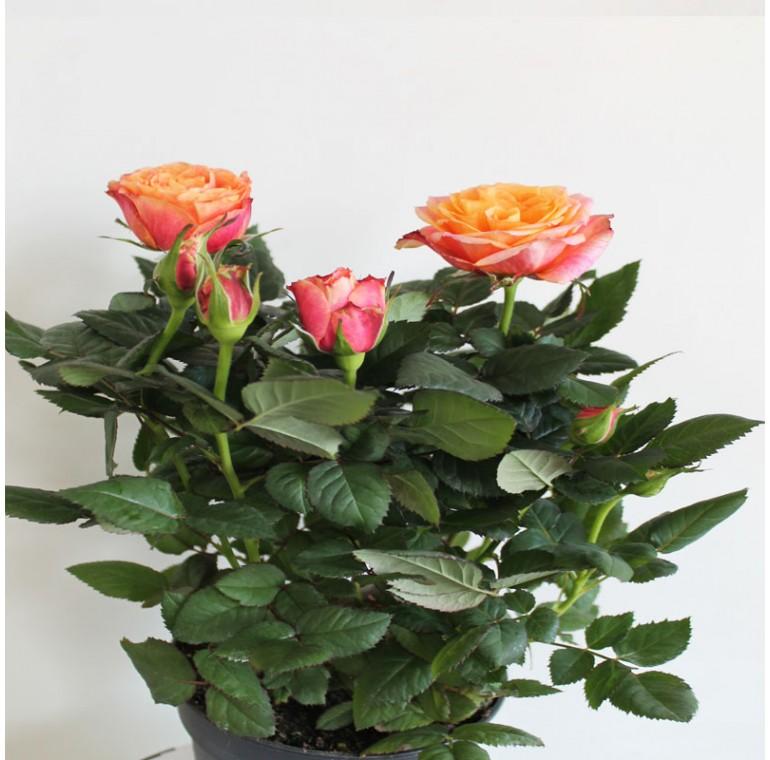 Роза Кордана Красно-Оранжевая